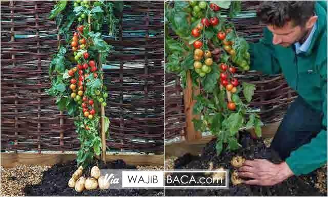 TomTato, Tanaman Unik Yang Mampu Hasilkan Buah Tomat dan Kentang Dalam Satu Pohon