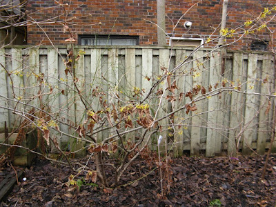 Arnold Promise Hamamelis x intermedia witch hazel shrub by garden muses: a Toronto gardening blog