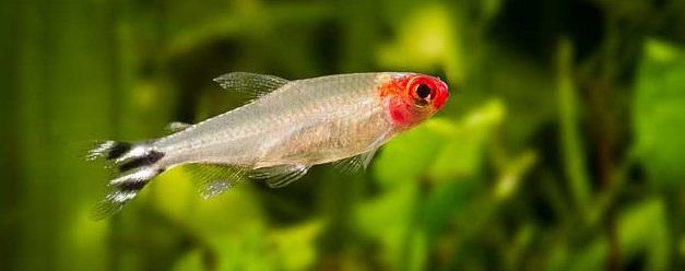 Red Nose Tetra - Cara Budidaya Ikan Hias