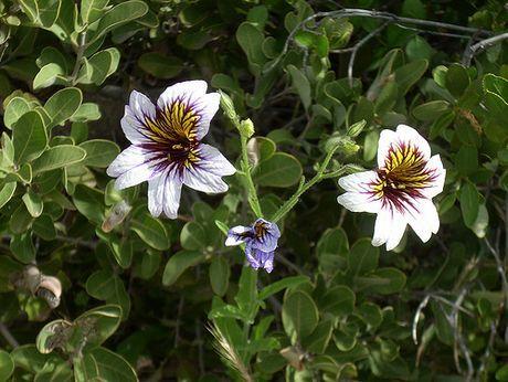 Salpiglossis sinuata Solanaceae PAINTED TONGUE pic