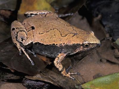 Hamptophryne Boliviana