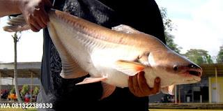 Essen Untuk Ikan Patin Yang Paling Jitu