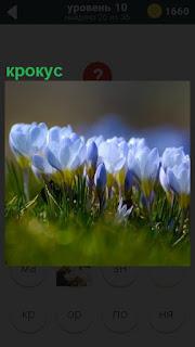 На грядке распустились бутоны цветка крокус бледно синего цвета