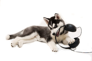 A siberian husky puppy is chewing on some headphones