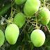 Tips dan Cara Agar Pohon Mangga Cepat Berbuah