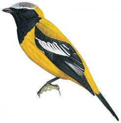 Golden Cuckooshrike