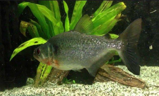 ikan piranha vs bawal
