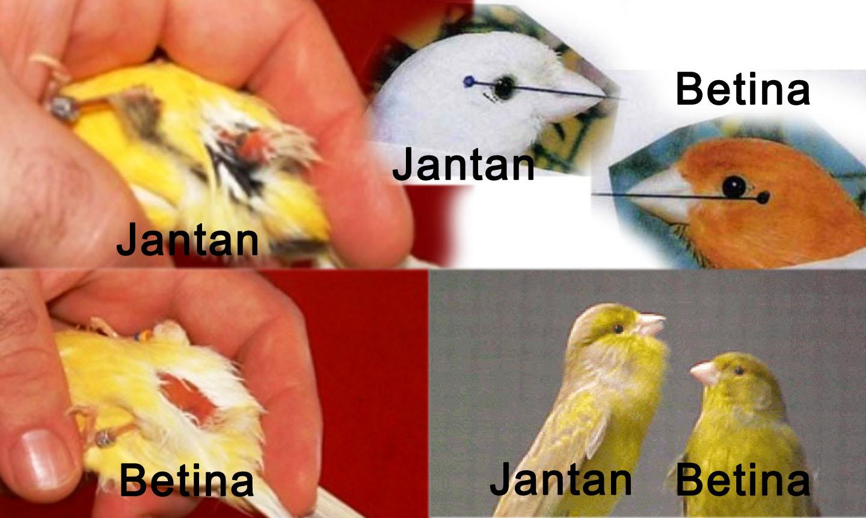 Cara Tepat 100 Membedakan Burung Kenari Jantan Dan Betina