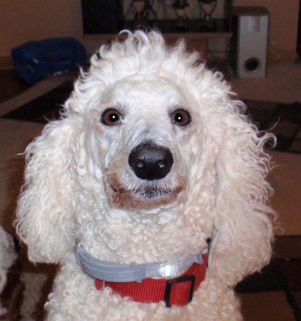 Poodle wearing #seresto collar CarmaPoodale