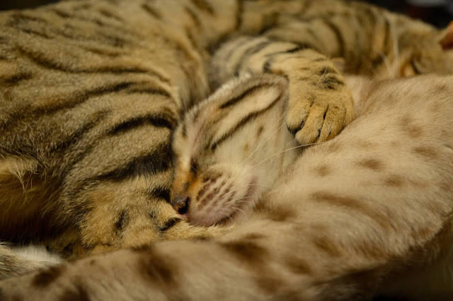 Bengal kittens sleeping