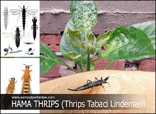 Hama Thrips (Thrips tabaci) mengenal dan mengetahui lebih lengkap