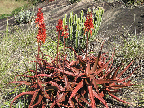 Red aloe or Aloe cameronii More Potent For Menstrual issues