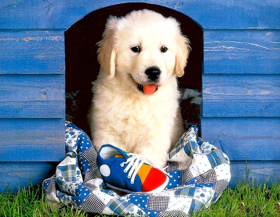 Golden Retriever Puppy Wallpaper Free Wallpapers