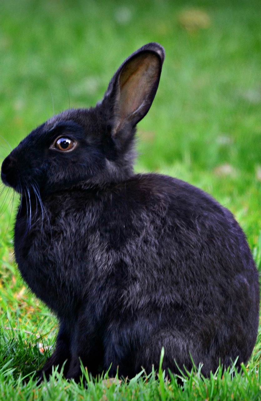 A black rabbit.