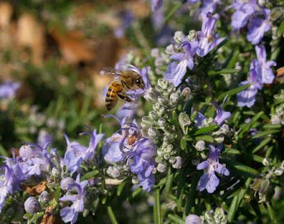 Να τι θα γινόταν αν οι μελισσοκόμοι προσπαθούσαν να εμπλουτίσουν τις περιοχές τους φυτεύοντας δεντρολίβανο