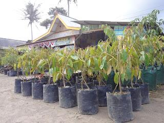 harga-jual-bibit-durian-menoreh-kuning Kaki Tiga .A.1.jpg