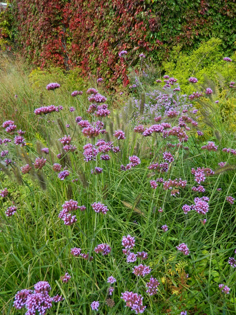 Toronto Botanical Garden Entry Walk Verbena bonariensis tall verbena by garden muses-not another Toronto gardening blog
