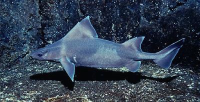 Oxynotus