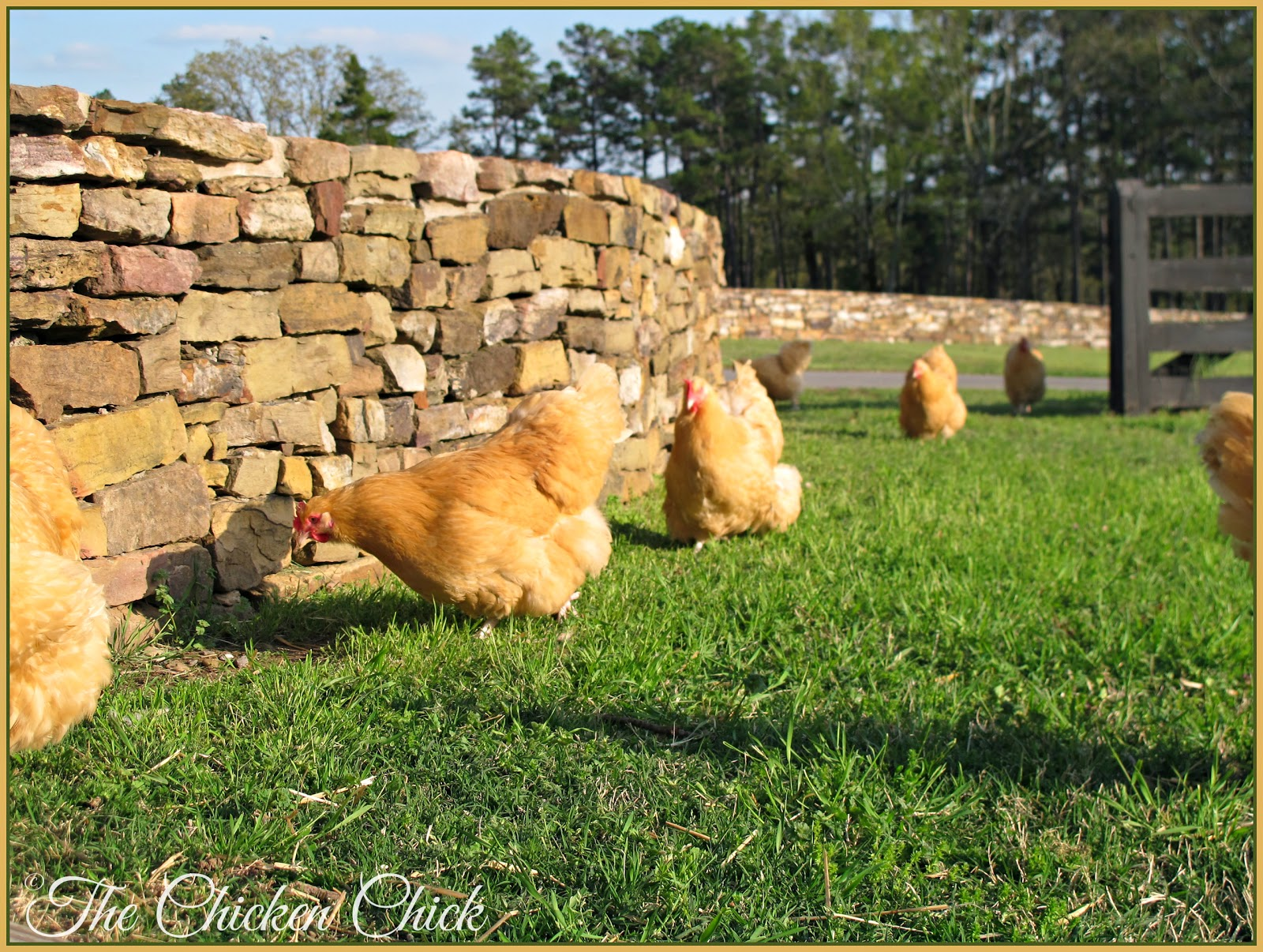 These are a few of Amos' ladies. THAT is what a Buff Orpington should look like!