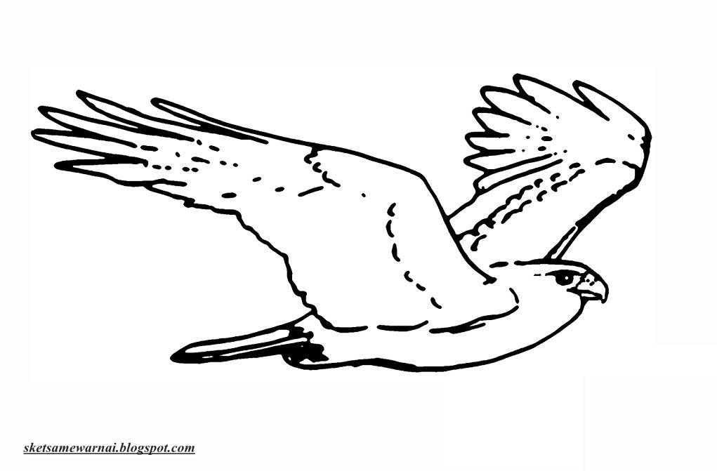 Sketsa Mewarnai Gambar Burung Elang Sketsa Mewarnai