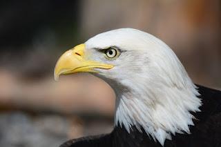 Орел смотрит куда-то