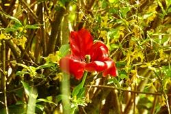 Tulpe vor der Forsythie...