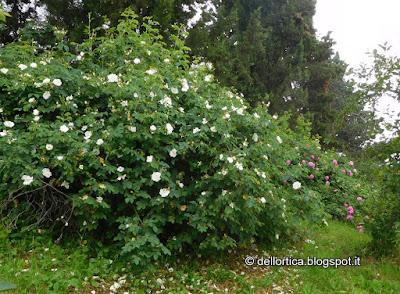rosa bianca del letamaio confettura tisane sali aromatici erbe essiccate lavanda ghirlande alla fattoria didattica dell ortica a Savigno Valsamoggia Bologna in Appennino vicino Zocca