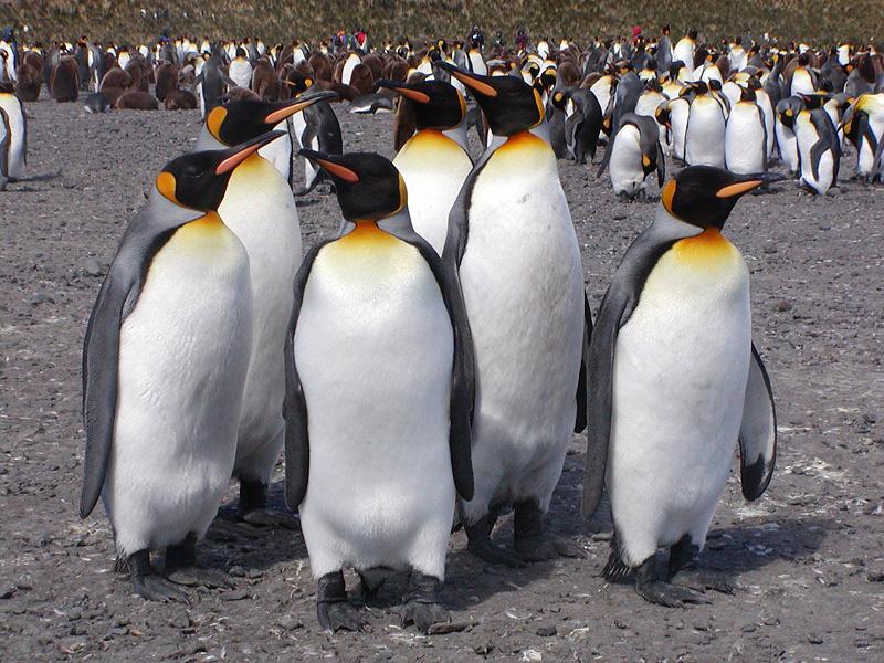 King Penguin - Life of Sea