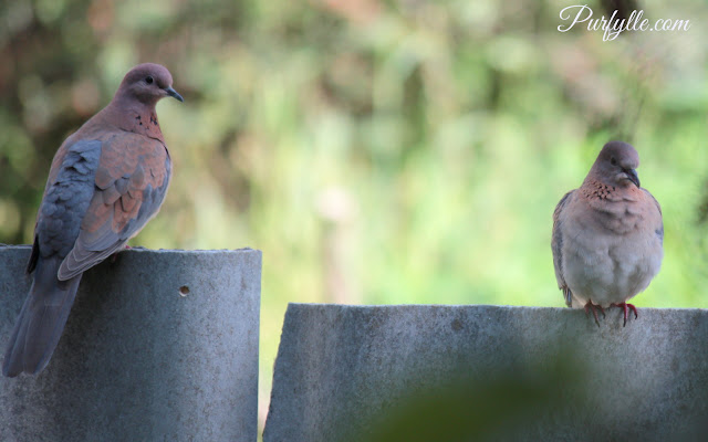 Laughing Turtle Doves on a fence