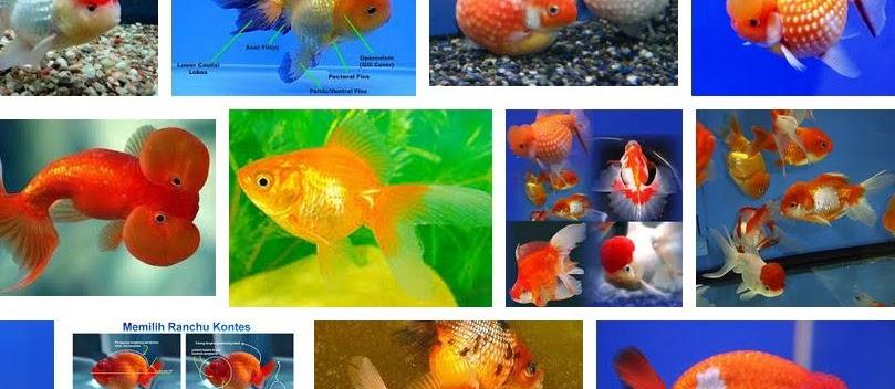 Cara Merawat Ikan Mas Koki Mutiara Agar cepat Besar