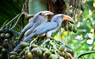 Malabar Grey Hornbill- Coorg, Western Ghats, India, Asia