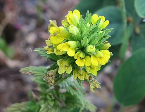 Algarabía pegajosa (Parentucella viscosa) flor silvestre amarilla