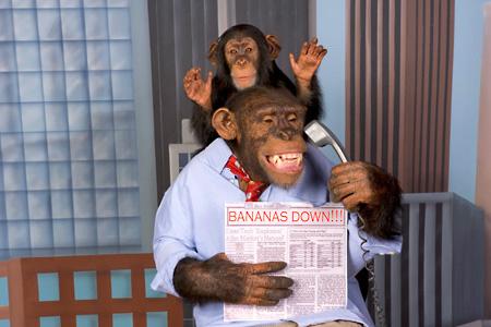 Chimpanzé desesperado com a queda das bananas