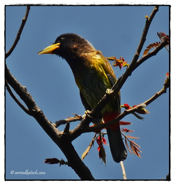 Great Barbet, Barbet,