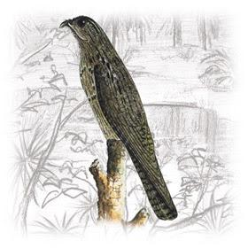 Urutau (Nyctibius griseus)