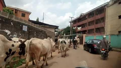 Photos Of Herdsmen And Cattle Plying Road In Awka, Anambra State