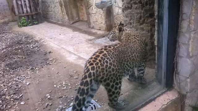 Зоопарк Испания Херес де ла Фронтера леопард