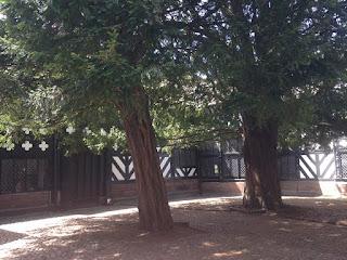 Yew trees at Speke Hall