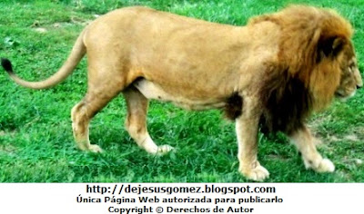 Foto de un león de perfil dentro del Parque de las Leyendas tomada por Jesus Gómez