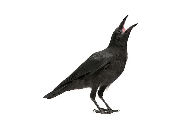 Cómo ganar siempre... con un cuervo que habla
