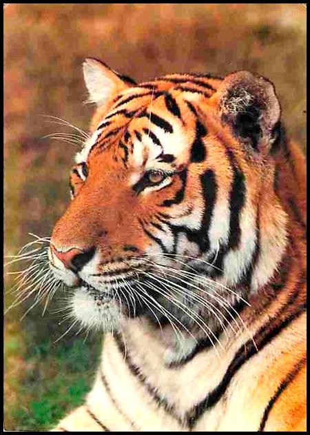 scădere în greutate tigru violet cum să pierzi grăsimea osoasă la șold