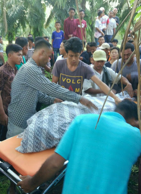 Evakuasi mayat korban yang tewas tertimpa pohon sawit di Asahan.