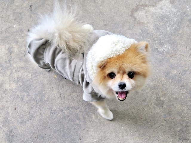 Ưu điểm và nhược điểm của việc mặc quần áo cho chó của bạn