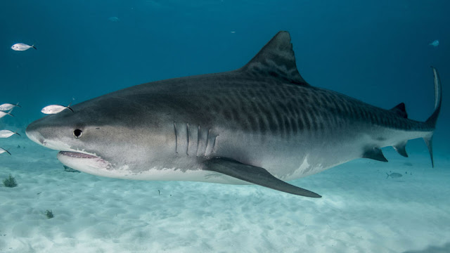 Tiger sharks are on average around 15ft and up to 1,900lbs (file picture)