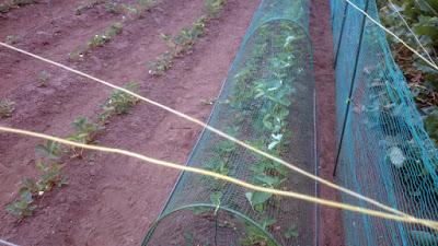 イチゴの畝に網をかぶせましたが、隙間を作って蝶が出入り可能にしました。
