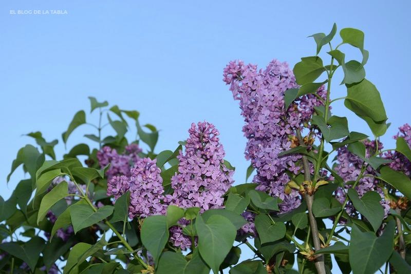 Flores de lila. Syringa. Lilac. Lilo