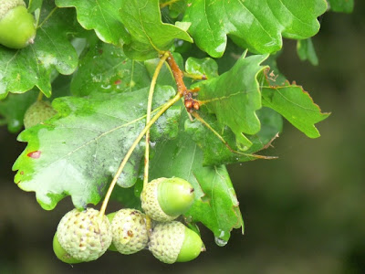 trees of Europe Roble europeo Quercus robur