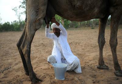 Resultado de imagen para leche de camella