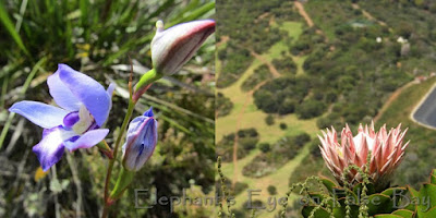 Blue disa and king protea above Kirstenbosch