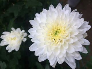 bunga-papan-krisan-surabaya